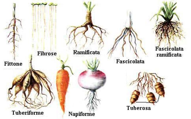 I diversi tipi di radice la semina le parti del fiore e dell 39 albero le parti della quercia - Diversi per natura ...